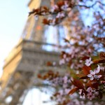 Eiffel Tower Cherry Blossoms - Falling Off Bicycles